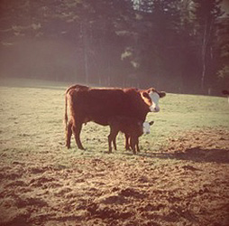 Grass fed beef from Pinestead Farm, Franconia, NH